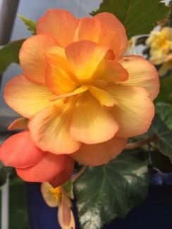 Illumination Begonia Apricot