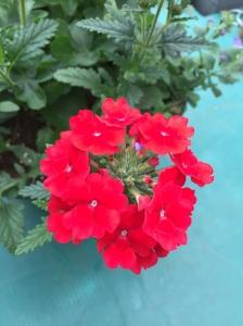 Verbena Temari Red