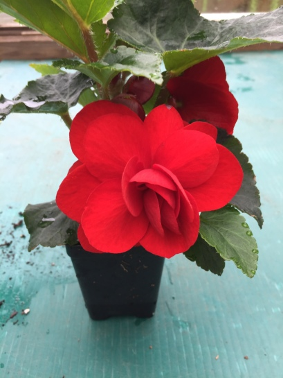 Begonia Non Stop Red